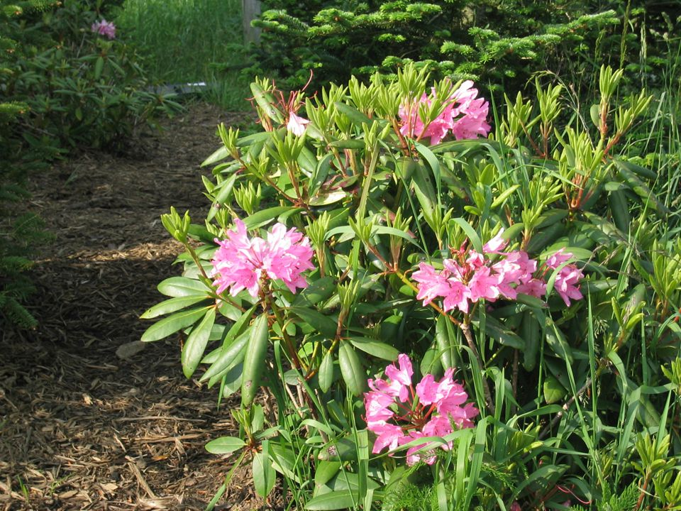 Partial to full shade; moist, well drained soil is best; needs acid soil.