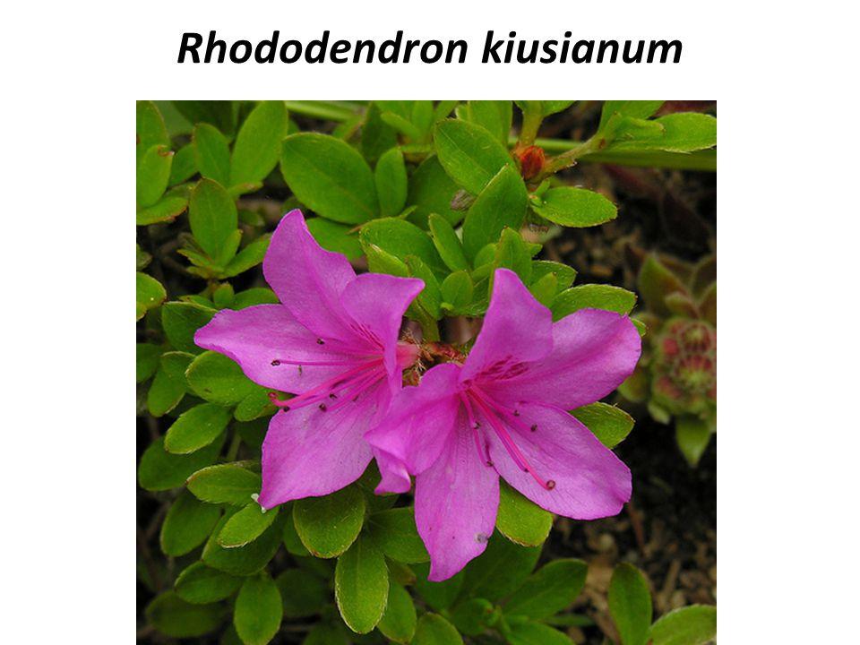 Rhododendron kiusianum COMMON NAME: Azalea FAMILY: NATIVE: Japan HARDINESS ZONE: 5-7