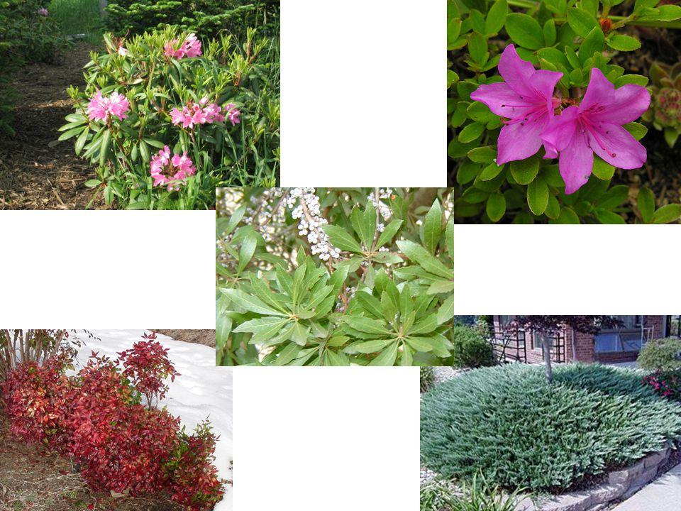 Rhododendron kiusianum Light Range: Part Sun to Full Sun USDA Hardiness Zone:7 to 8 Tolerances:deer, rabbits, seashore, slope,