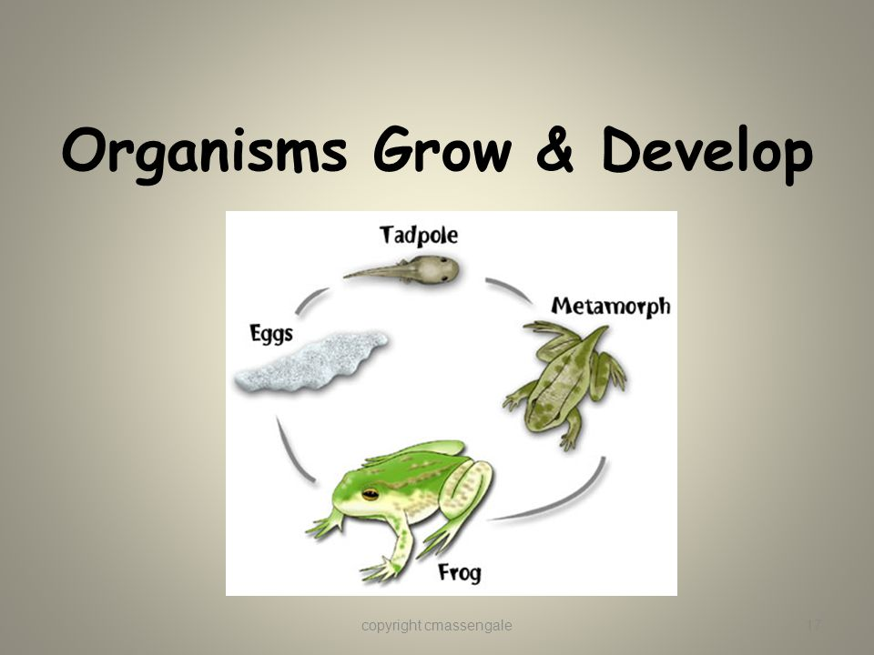 Organisms Grow & Develop copyright cmassengale17