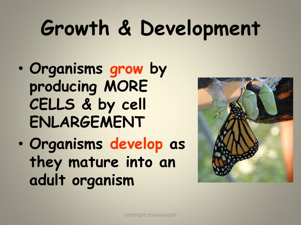 Growth & Development Organisms grow by producing MORE CELLS & by cell ENLARGEMENT Organisms develop as they mature into an adult organism copyright cmassengale18