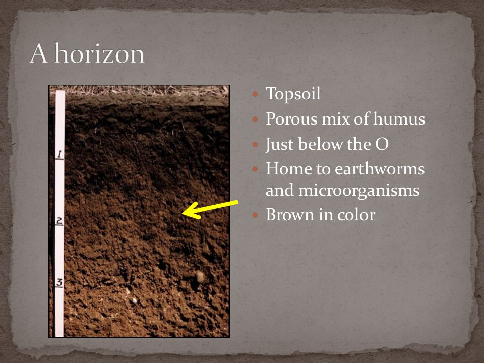 Topsoil Porous mix of humus Just below the O Home to earthworms and microorganisms Brown in color