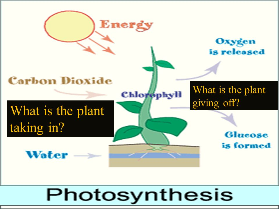  The process of converting light energy into chemical energy  Location: Chloroplast/Chlorophyll  Reactants: Carbon Dioxide, Water, and Sunlight  Products: Oxygen O 2, Glucose  Enzymes also required