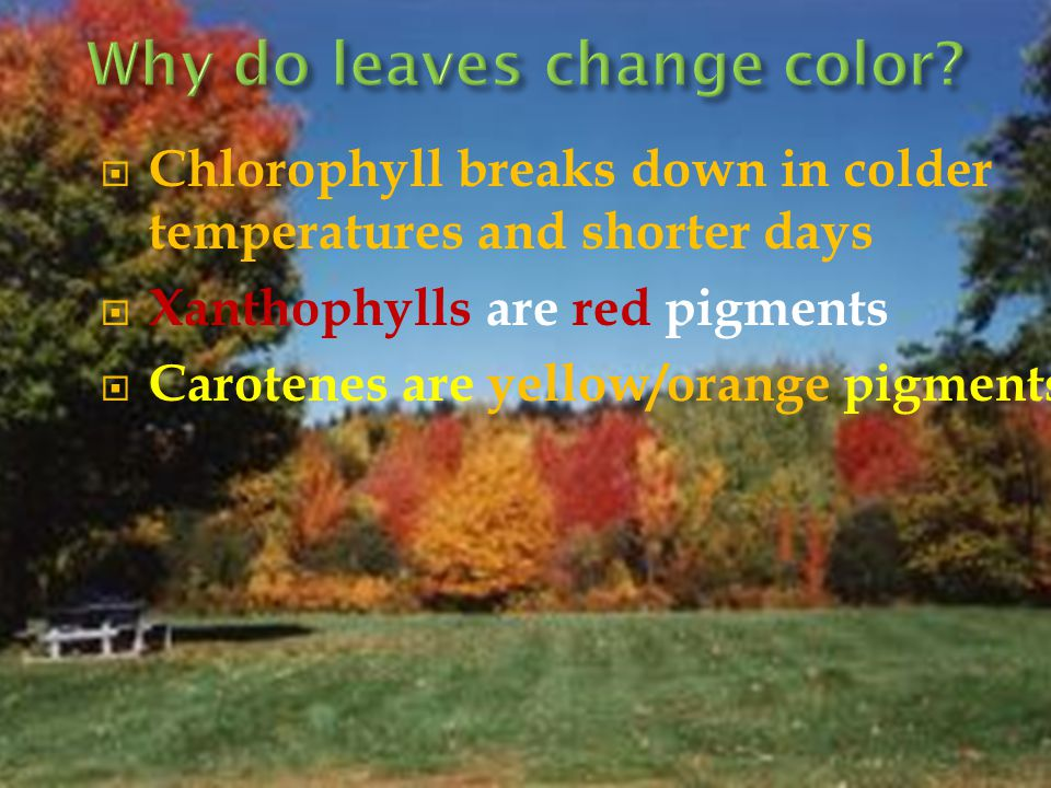  Chlorophyll breaks down in colder temperatures and shorter days  Xanthophylls are red pigments  Carotenes are yellow/orange pigments