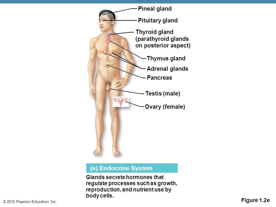 © 2012 Pearson Education, Inc. Figure 1.2e (e) Endocrine System Glands secrete hormones that regulate processes such as growth, reproduction, and nutr