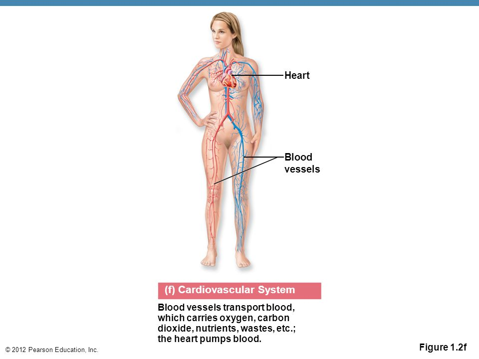 © 2012 Pearson Education, Inc. Figure 1.2f (f) Cardiovascular System Heart Blood vessels transport blood, which carries oxygen, carbon dioxide, nutrie