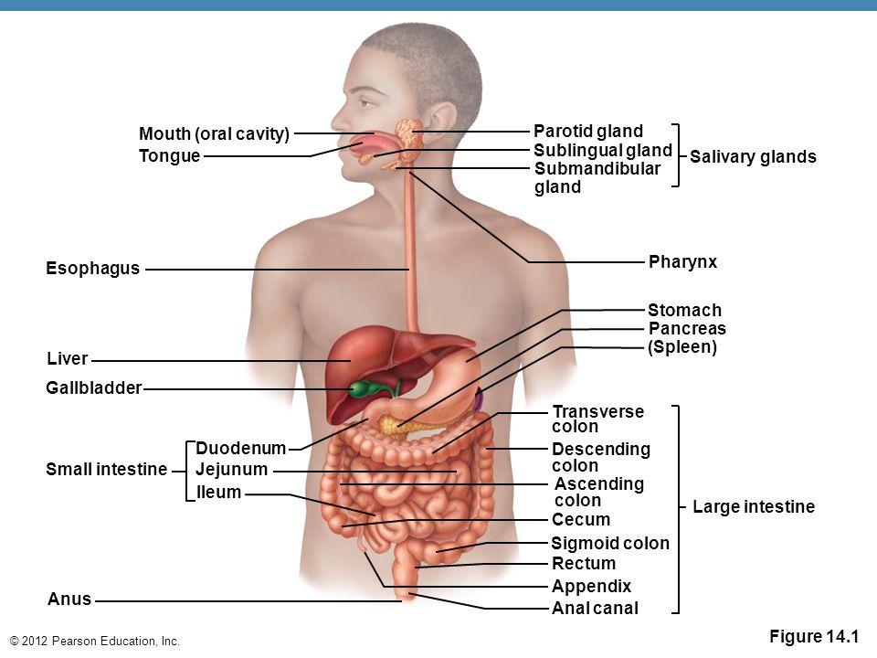 © 2012 Pearson Education, Inc. Figure 14.1 Mouth (oral cavity) Tongue Esophagus Liver Gallbladder Small intestine Duodenum Jejunum lleum Anus Parotid