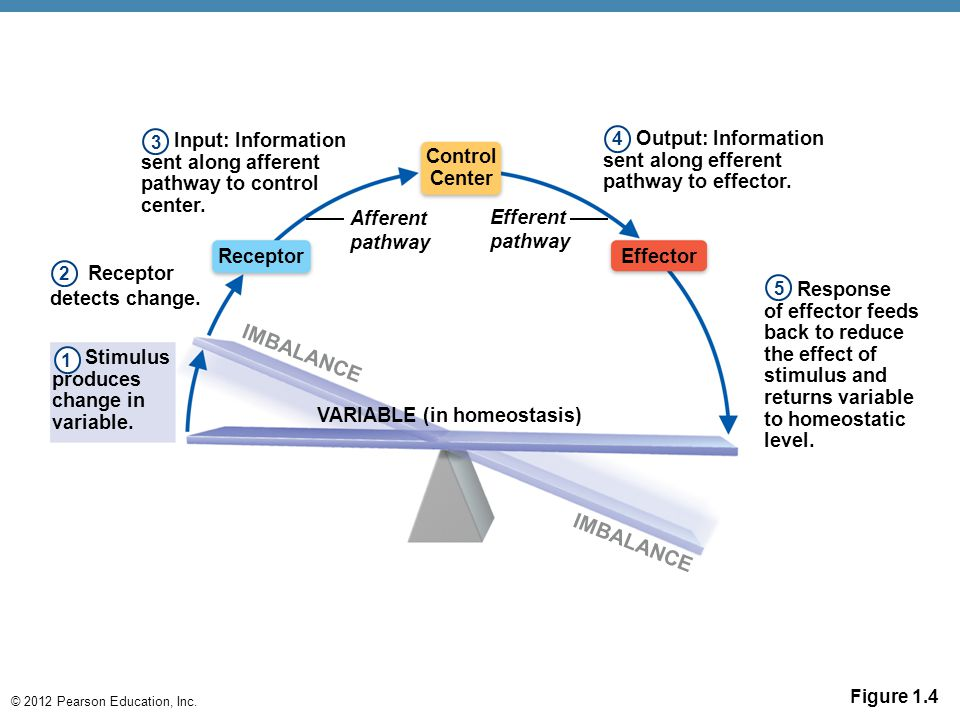 © 2012 Pearson Education, Inc. Figure 1.4 Input: Information sent along afferent pathway to control center. Receptor Control Center Effector Receptor