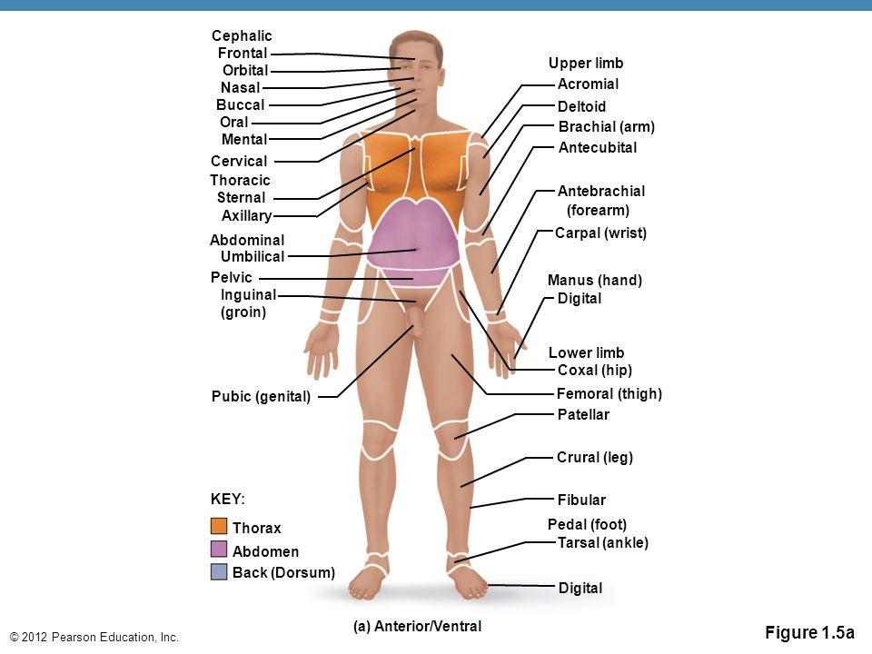 © 2012 Pearson Education, Inc. Cervical Umbilical Pubic (genital) Pelvic Inguinal (groin) (a) Anterior/Ventral KEY: Deltoid Digital Lower limb Coxal (