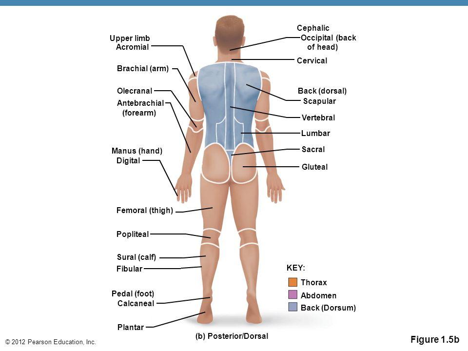 © 2012 Pearson Education, Inc. Figure 1.5b (b) Posterior/Dorsal Gluteal Sacral Lumbar Vertebral Back (dorsal) Scapular Cervical Cephalic Occipital (ba