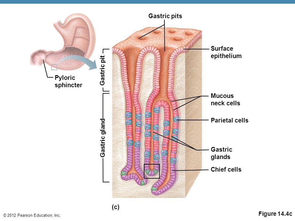 © 2012 Pearson Education, Inc. Figure 14.4c Pyloric sphincter Gastric pits Surface epithelium Mucous neck cells Parietal cells Gastric glands Chief ce
