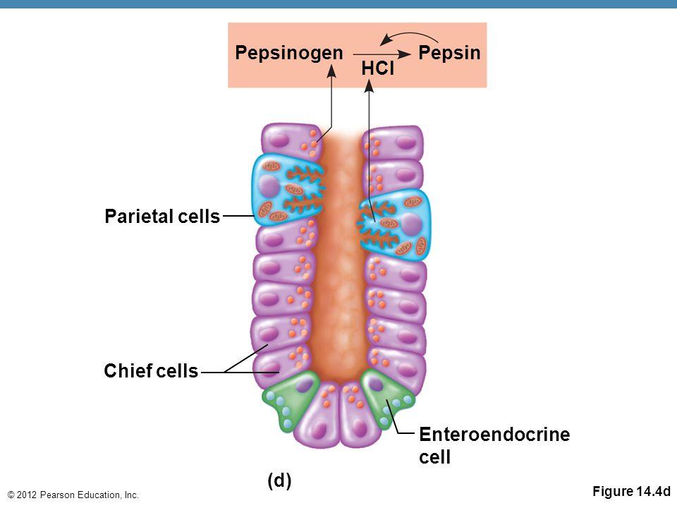 © 2012 Pearson Education, Inc. Figure 14.4d PepsinogenPepsin HCl Parietal cells Chief cells Enteroendocrine cell (d)