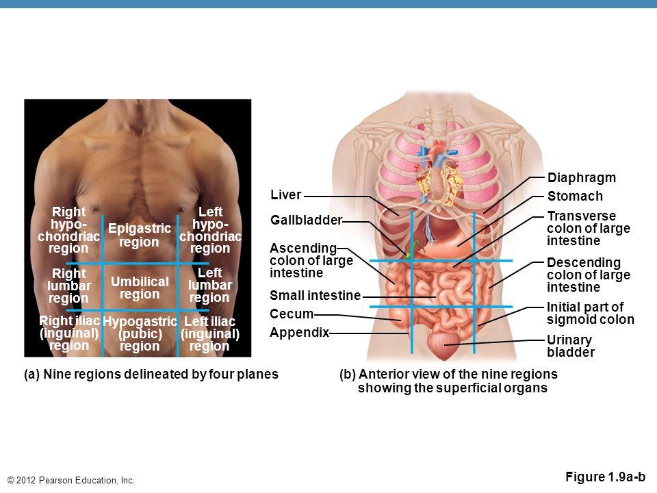 © 2012 Pearson Education, Inc. Figure 1.9a-b Right hypo- chondriac region Epigastric region Right lumbar region Umbilical region Right iliac (inguinal