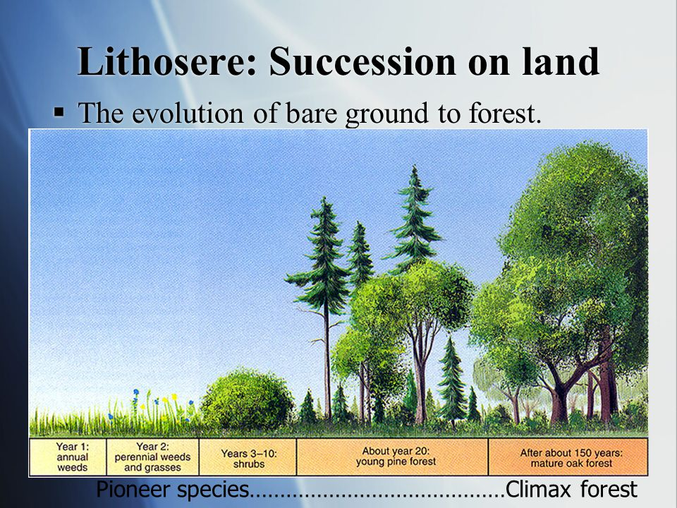 Sequoia (redwood) trees are K-strategists