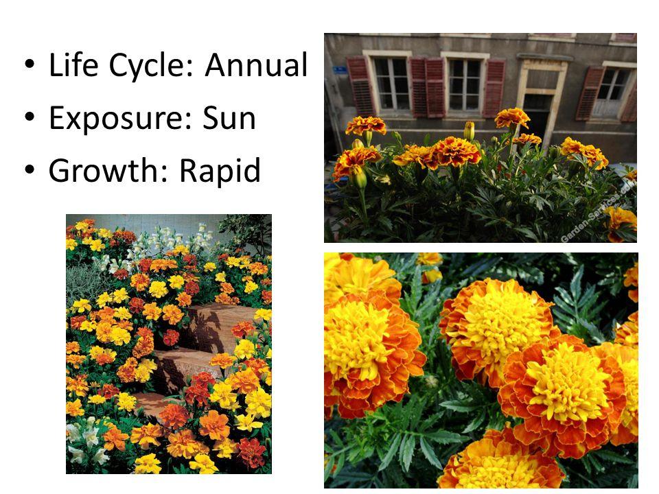 Life Cycle: Annual Exposure: Sun Growth: Rapid