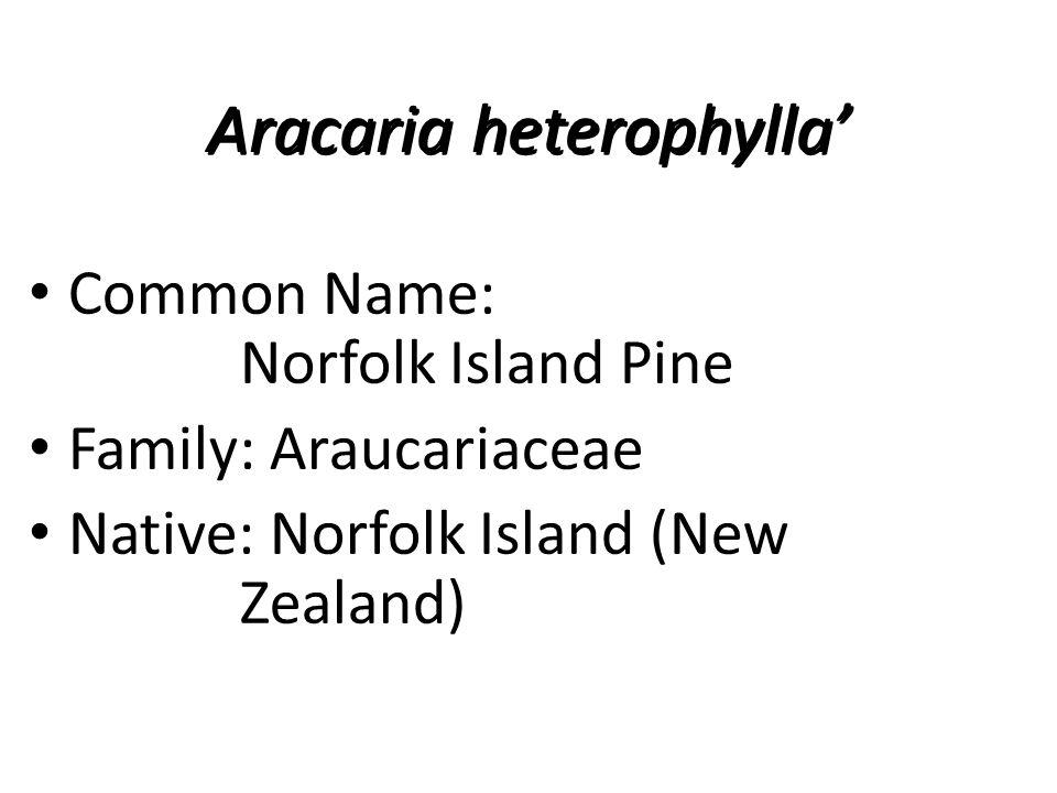Aracaria heterophylla' Common Name: Norfolk Island Pine Family: Araucariaceae Native: Norfolk Island (New Zealand)