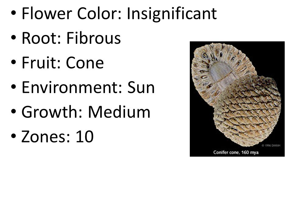 Flower Color: Insignificant Root: Fibrous Fruit: Cone Environment: Sun Growth: Medium Zones: 10