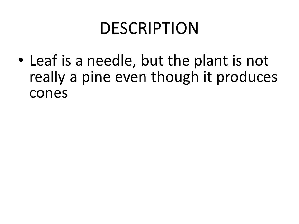 DESCRIPTION Leaf is a needle, but the plant is not really a pine even though it produces cones