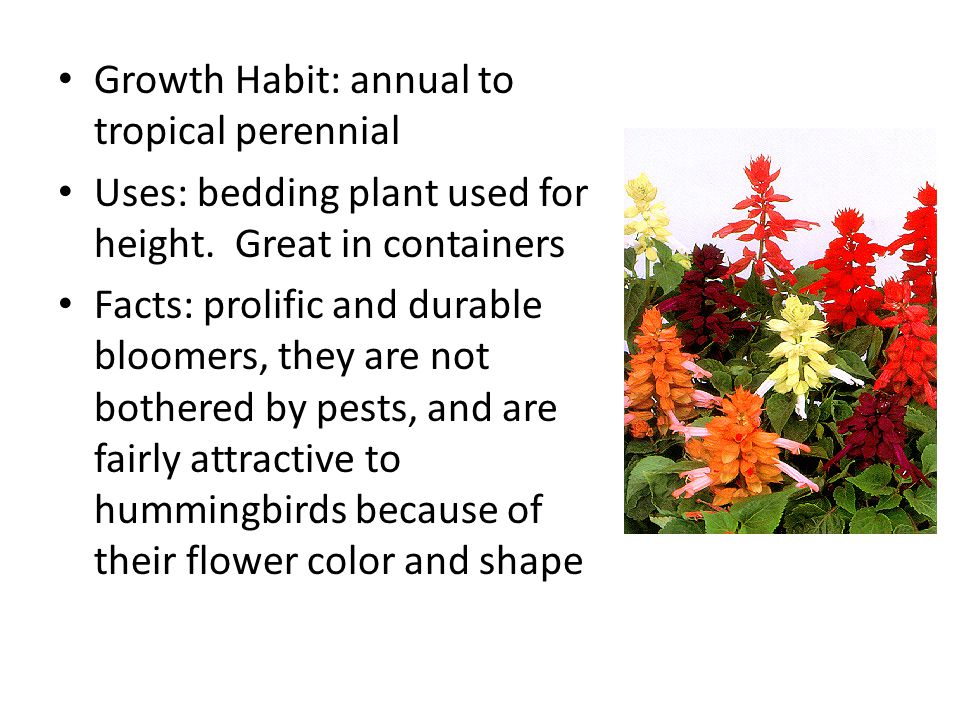 Flower: Spikes Flower colors: White, salmon, pink, purple/blue, traditional Red Height: 8 to 3' tall Leaves: Elliptical, serrated, and dark green in color.