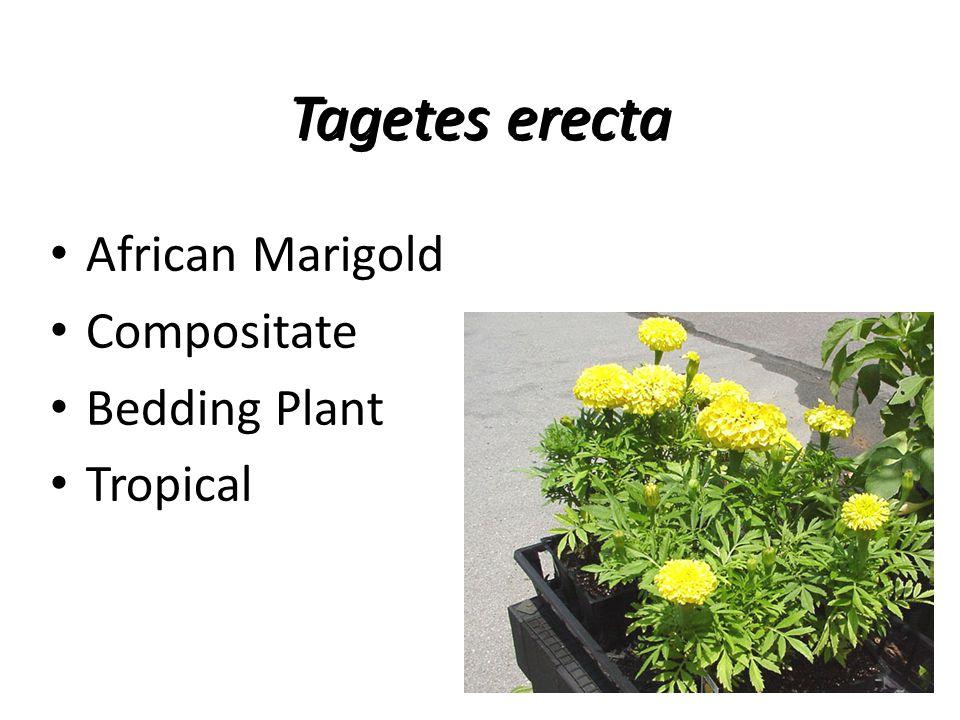 Tagetes erecta African Marigold Compositate Bedding Plant Tropical