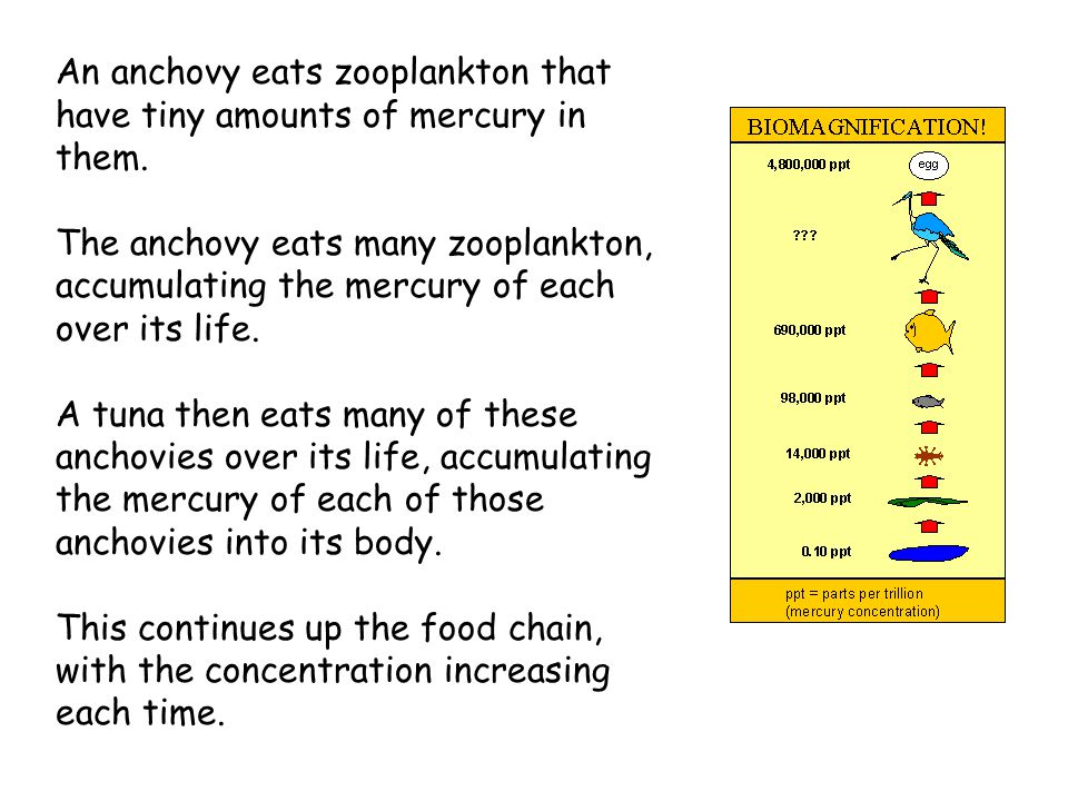 An anchovy eats zooplankton that have tiny amounts of mercury in them. The anchovy eats many zooplankton, accumulating the mercury of each over its li