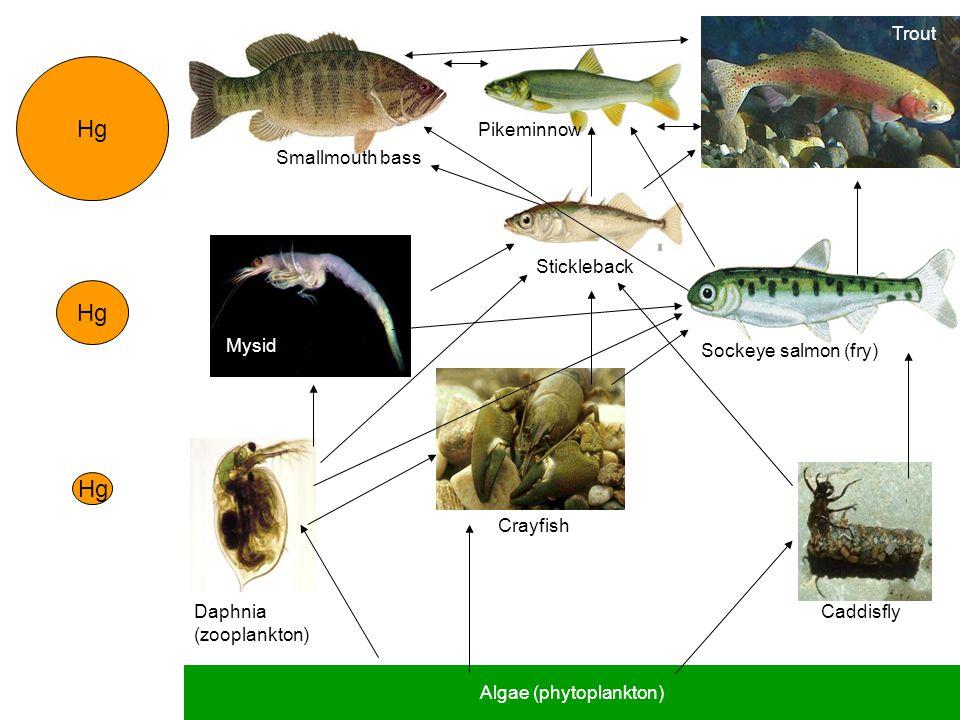 Hg Algae (phytoplankton) Daphnia (zooplankton) Stickleback Trout Caddisfly Crayfish Mysid Sockeye salmon (fry) Smallmouth bass Pikeminnow
