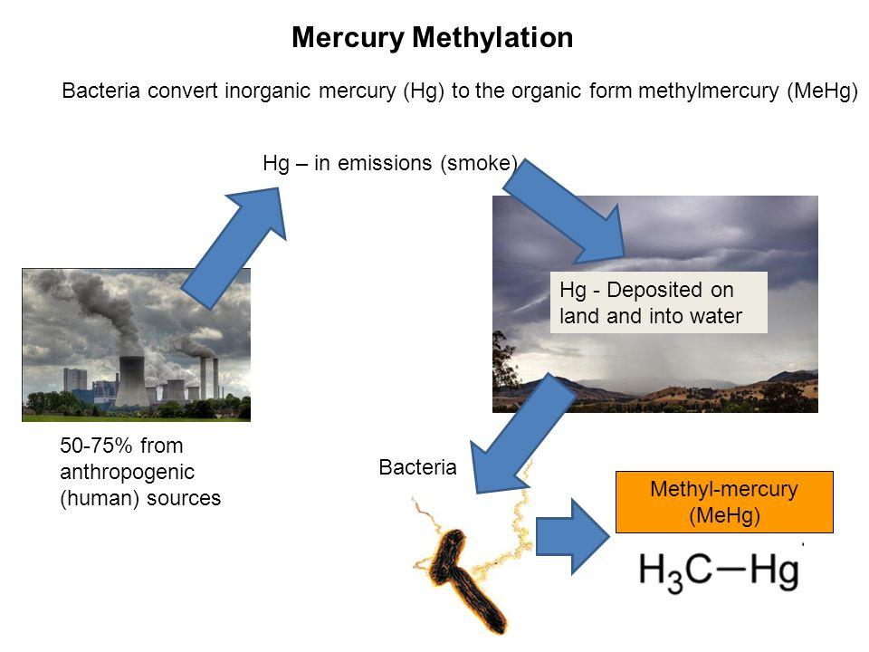 Methylmercury (MeHg) Highly toxic Gets into the food web Phytoplankton (algae) Zooplankton Snail Largemouth bass Herbivorous fish Small fish