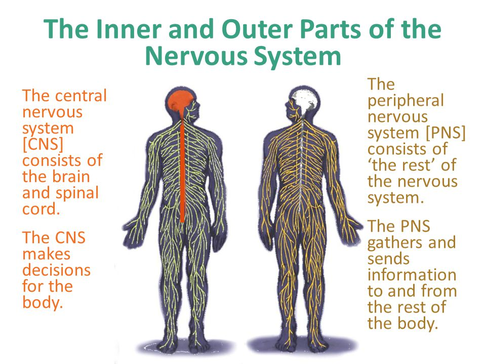The Inner and Outer Parts of the Nervous System The central nervous system [CNS] consists of the brain and spinal cord. The CNS makes decisions for th