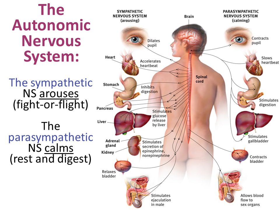 The Autonomic Nervous System: The sympathetic NS arouses (fight-or-flight) The parasympathetic NS calms (rest and digest)