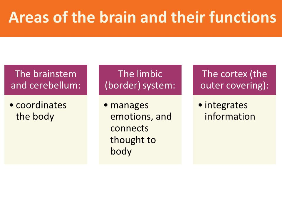Areas of the brain and their functions The brainstem and cerebellum: coordinates the body The limbic (border) system: manages emotions, and connects t