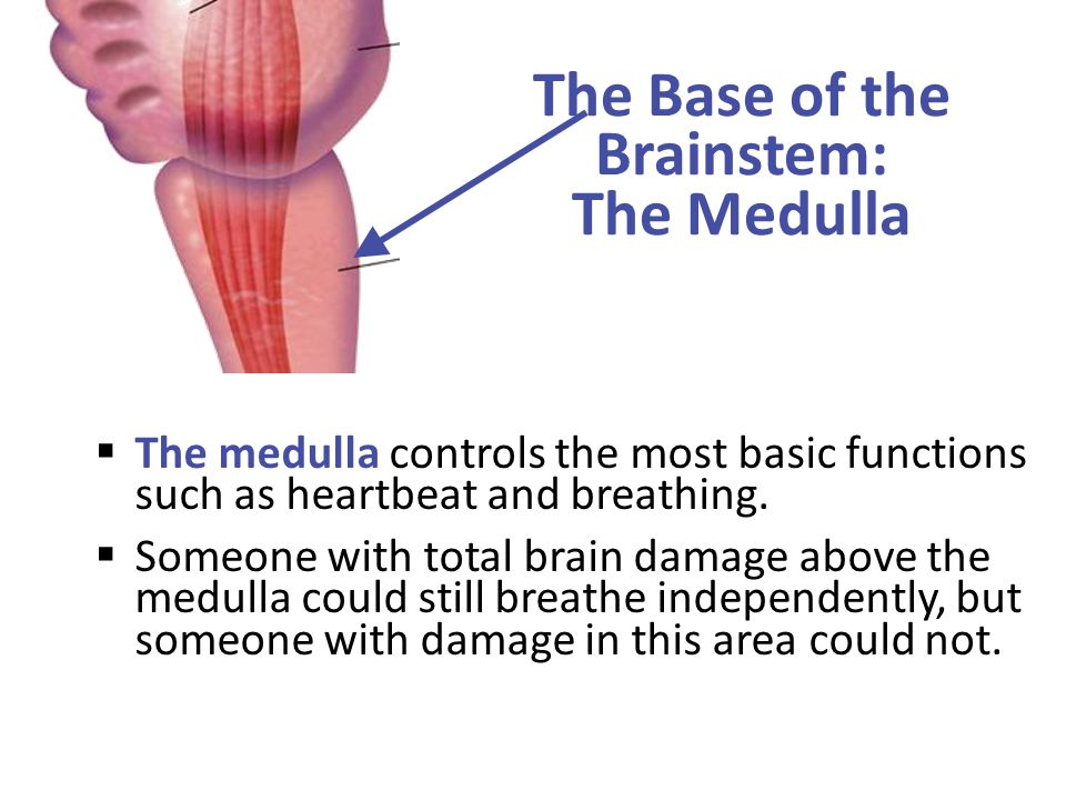 The Base of the Brainstem: The Medulla  The medulla controls the most basic functions such as heartbeat and breathing.  Someone with total brain dam