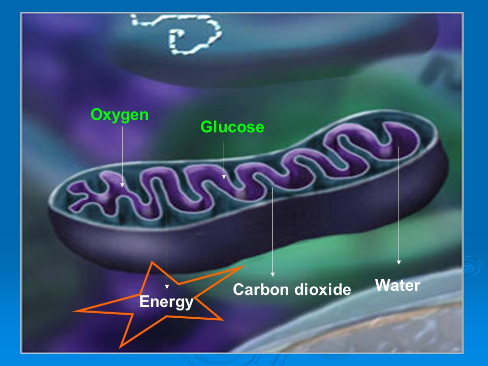 Oxygen Glucose Carbon dioxide Water Energy