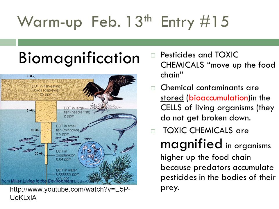 """Warm-up Feb. 13 th Entry #15 Biomagnification  Pesticides and TOXIC CHEMICALS """"move up the food chain""""  Chemical contaminants are stored (bioaccumul"""