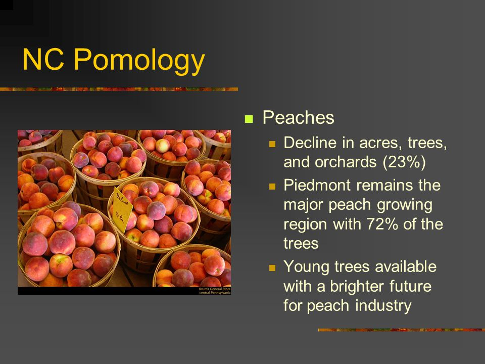 NC Pomology Peaches Decline in acres, trees, and orchards (23%) Piedmont remains the major peach growing region with 72% of the trees Young trees available with a brighter future for peach industry