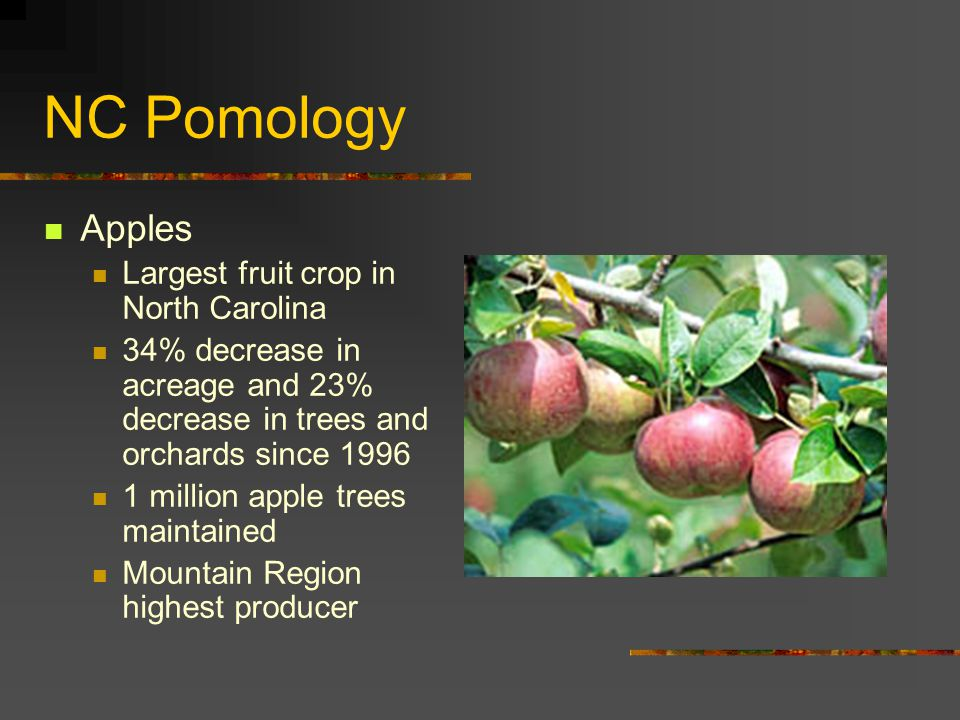 NC Pomology Apples Largest fruit crop in North Carolina 34% decrease in acreage and 23% decrease in trees and orchards since 1996 1 million apple trees maintained Mountain Region highest producer