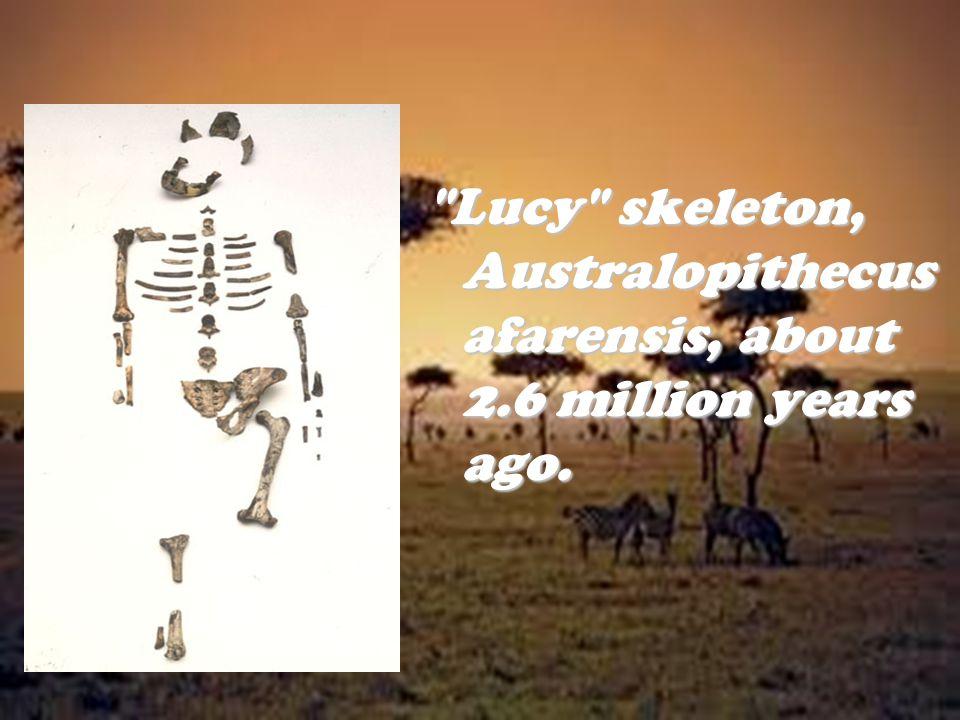 Lucy skeleton, Australopithecus afarensis, about 2.6 million years ago.