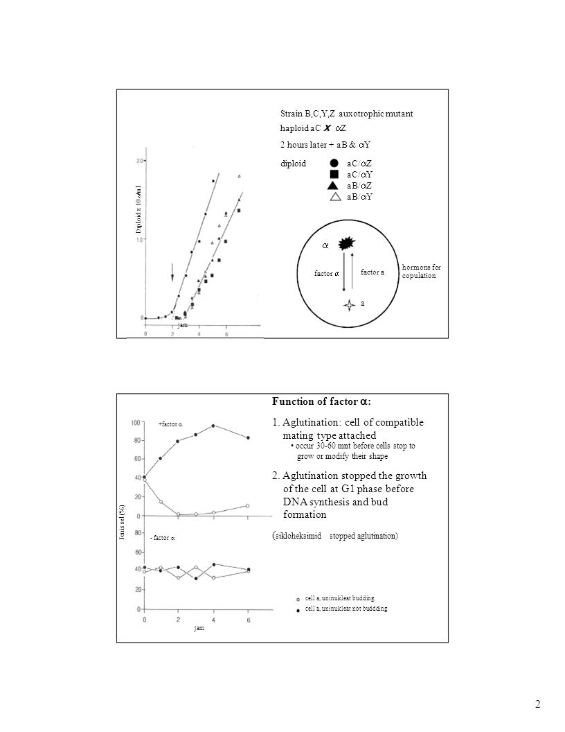 Log sel/ml DNA synthesis With factor  Without factor  Total cell Total DNA Faktor  stop Model of mating regulation in Saccharomyces cerevisiae 3