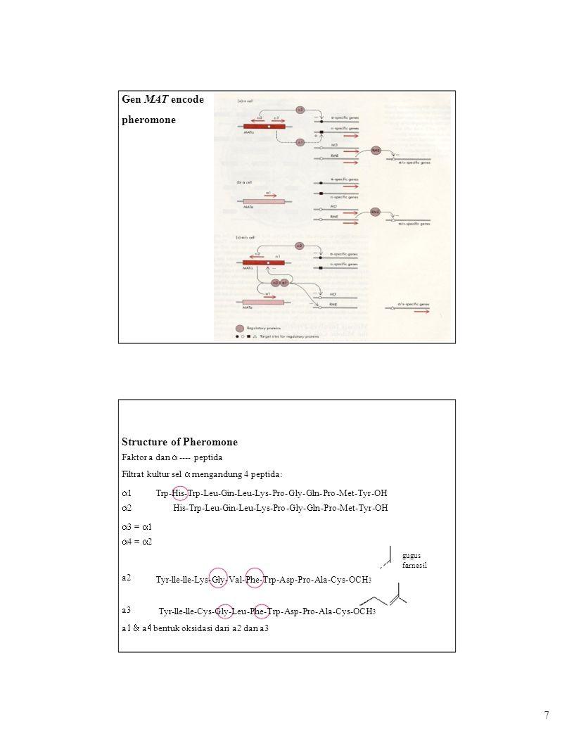 Gen MAT encode pheromone Structure of Pheromone Faktor a dan  ---- peptida Filtrat kultur sel  mengandung 4 peptida: 1212 Trp-His-Trp-Leu-Gin-Leu-Lys-Pro-Gly-Gln-Pro-Met-Tyr-OH His-Trp-Leu-Gin-Leu-Lys-Pro-Gly-Gln-Pro-Met-Tyr-OH  3 =  1  4 =  2 gugus farnesil a2 a3 Tyr-lle-lle-Lys-Gly-Val-Phe-Trp-Asp-Pro-Ala-Cys-OCH 3 Tyr-lle-lle-Cys-Gly-Leu-Phe-Trp-Asp-Pro-Ala-Cys-OCH 3 a  a  bentuk oksidasi dari a2 dan a3 7