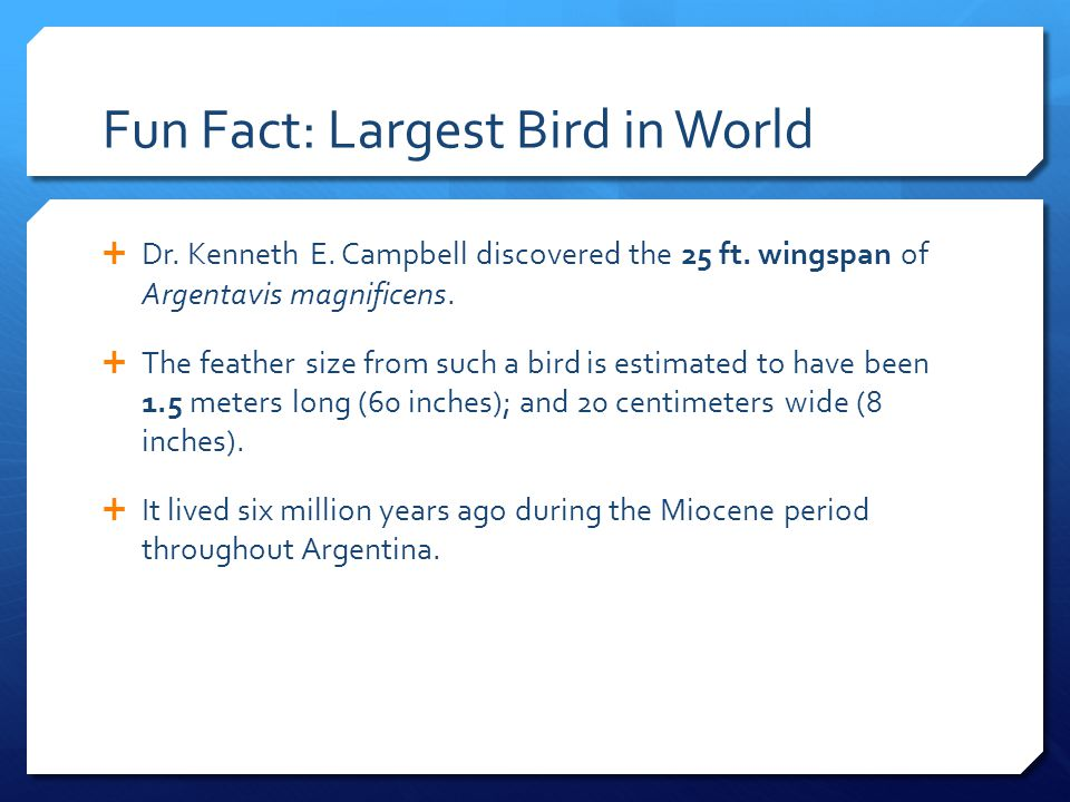 Fun Fact: Largest Bird in World  Dr. Kenneth E. Campbell discovered the 25 ft. wingspan of Argentavis magnificens.  The feather size from such a bir
