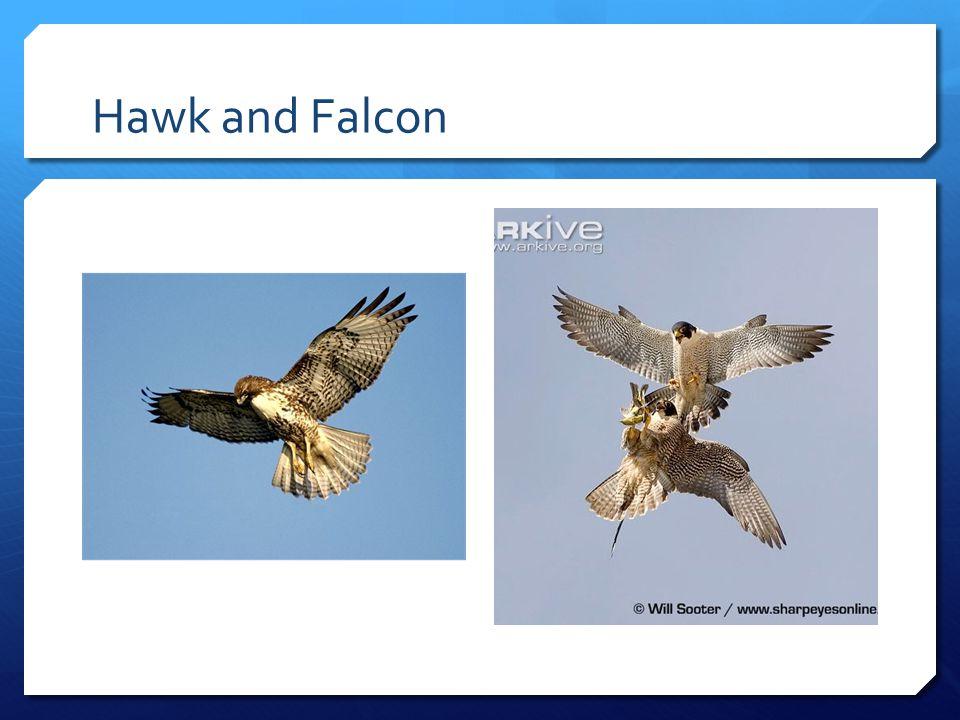 Hawk and Falcon