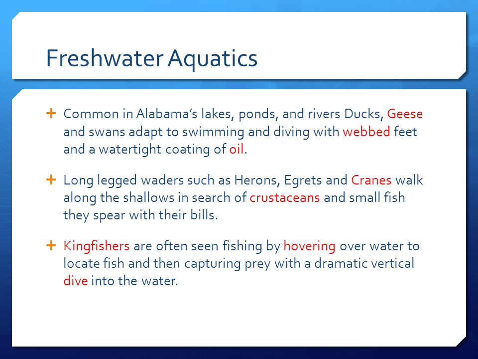 Freshwater Aquatics  Common in Alabama's lakes, ponds, and rivers Ducks, Geese and swans adapt to swimming and diving with webbed feet and a watertig
