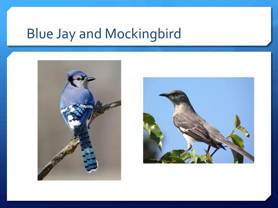 Blue Jay and Mockingbird