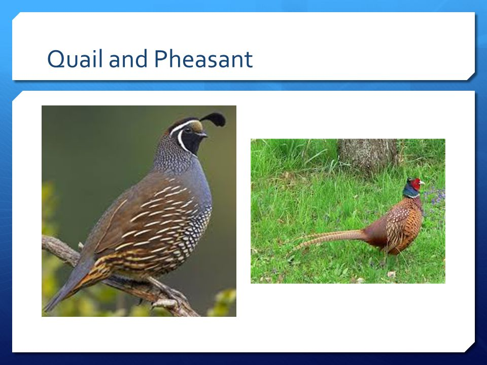 Quail and Pheasant