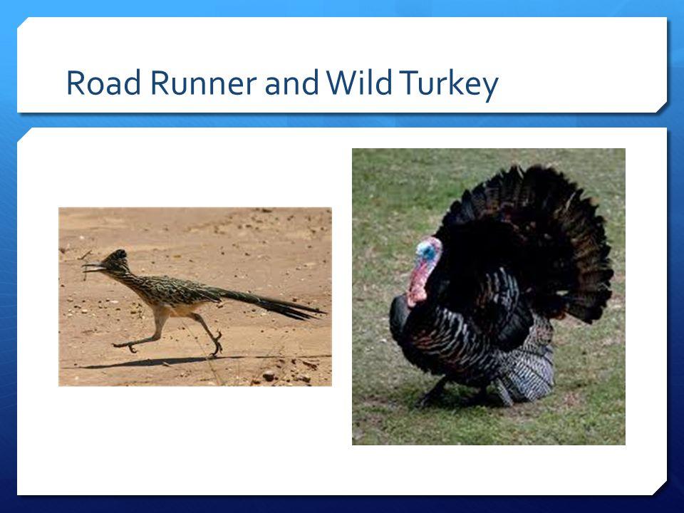 Road Runner and Wild Turkey