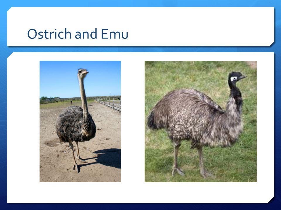 Ostrich and Emu