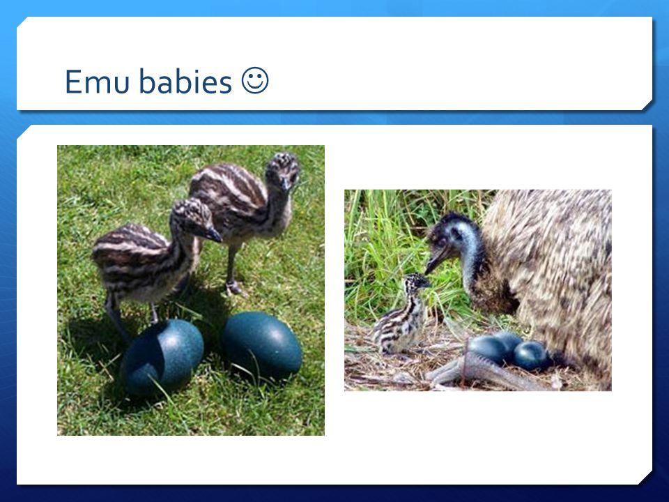 Emu babies