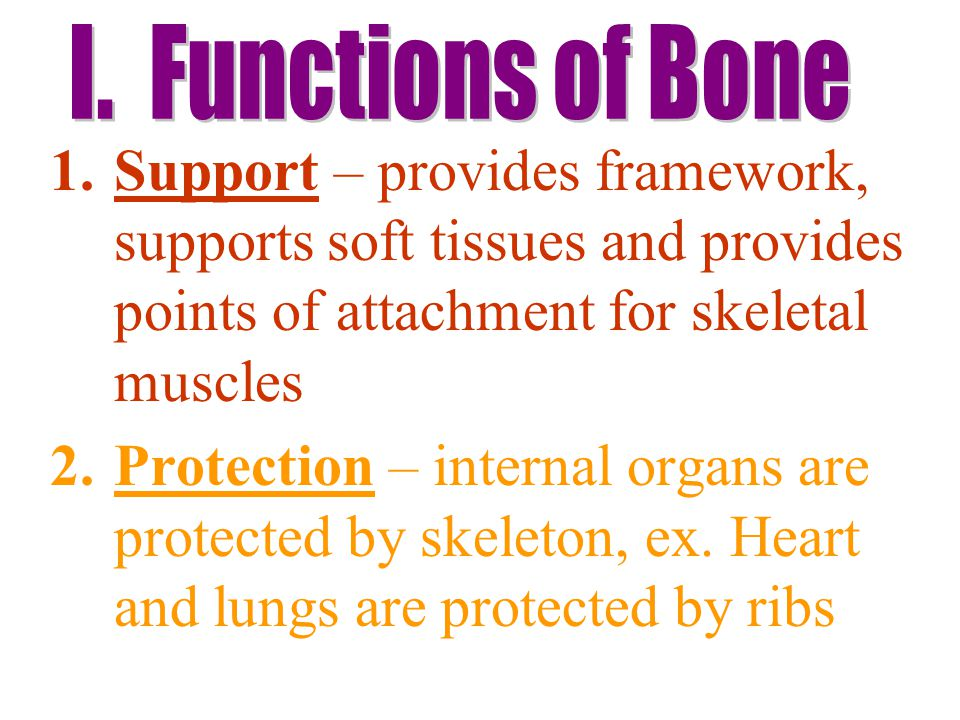 1.Support – provides framework, supports soft tissues and provides points of attachment for skeletal muscles 2.Protection – internal organs are protected by skeleton, ex.