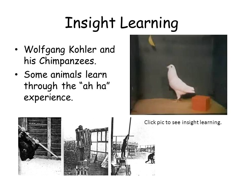 """Insight Learning Wolfgang Kohler and his Chimpanzees. Some animals learn through the """"ah ha"""" experience. Click pic to see insight learning."""