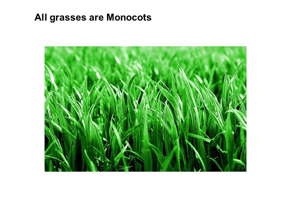 All grasses are Monocots