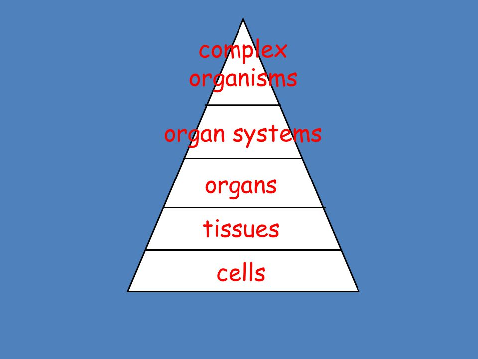 cells tissues organs organ systems complex organisms